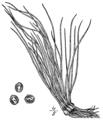 Isoetes × eatonii BB-1913-2.png