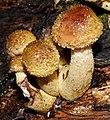 Isojärvi National Park - fungi 4.jpg