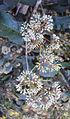 Ixora brachiata 06.JPG