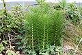Jättefräken (Equisetum telmateia)-1 - Flickr - Ragnhild & Neil Crawford.jpg