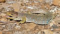 Jewelled Lizard (Timon lepidus) female (found by Jean NICOLAS) (37033378676).jpg