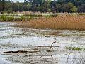 Jezioro Turawskie Duże - siedliska ptaków.jpg