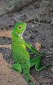Joven Iguana a orillas del Lago de Maracaibo.jpg