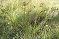 Juncus.articulatus2.-.lindsey.jpg