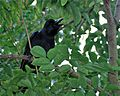 Jungle Crow (Corvus macrorhynchos) (7808391452).jpg