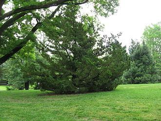 Juniperus chinensis - Image: Juniperus Chinensis