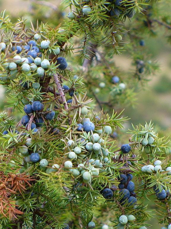 Borievka obyčajná - plody a ihličie