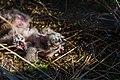 Juvenile Sumpfohreulen im Nest 3.jpg