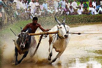 Bull surfing - Bull Surfing at Kerala, 2013