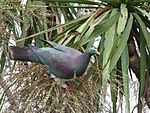 Kereru (New Zealand Wood Pigeon).jpg