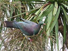 A New Zealand Pigeon stands on the fruiting spike of a cabbage tree