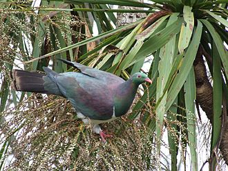 New Zealand pigeon - New Zealand pigeons were once the major dispersers of the seeds of cabbage trees. They eat the small white seeds in autumn and winter.