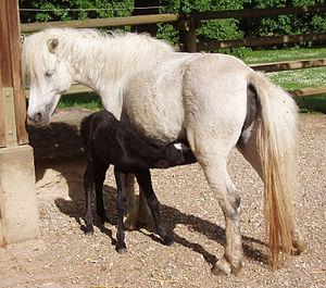 Nhân giống ngựa – Wikipedia tiếng Việt