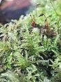 Kindbergia praelonga 103577284.jpg