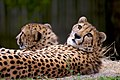 Kito Kiburi cheetahs.jpg