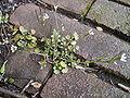 Kleine veldkers 04-04-2006 12.16.50.JPG