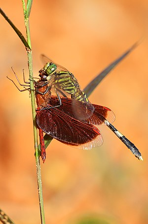 Cannibalism - A dragonfly of the Sabine Orthetrum genus is preying on another dragonfly of the Neurothemis genus.