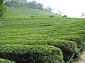 Korea-Boseong-Green.tea-08.jpg