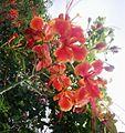 Krishnachura flower (1).jpg