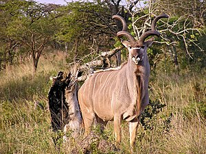 http://upload.wikimedia.org/wikipedia/commons/thumb/2/25/Kudu1.jpg/300px-Kudu1.jpg