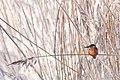 Kungsfiskare -4258 - Flickr - Ragnhild & Neil Crawford.jpg