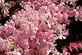 Kurume Azalea - National Rhododendron Gardens, Olinda, Victoria Australia (6225504529).jpg