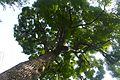 Kyu Yasuda teien - Cinnamomum camphora - oct 20 2015.jpg