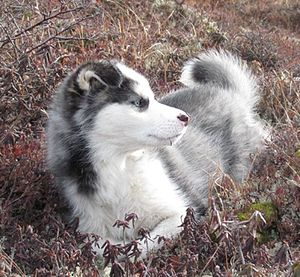 English: Labrador Husky puppy laying in some m...