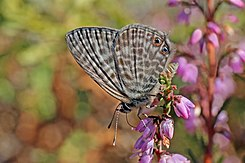 Lang's short tail blue (Leptotes pirithous) male underside.jpg