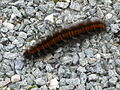 Large woolly caterpillar - geograph.org.uk - 573201.jpg