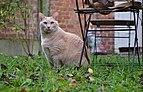 Larry the cat sitting besides a wooden lawn chair in Auderghem, Belgium (DSCF2368).jpg