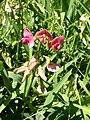 Lathyrus sylvestris inflorescence 1 AB.jpg