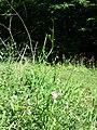 Lathyrus sylvestris sl14.jpg