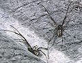 Latrodectus.geometricus.male.-.tanikawa.jpg