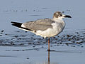 Laughing Gull RWD2b.jpg