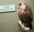 Laughing Owl, Canterbury Museum, 2016-01-27.jpg