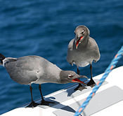 Lava gull pair