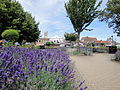 Lavender flowering at Newport Church Litten 2.JPG
