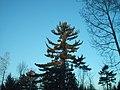 Le vieux pin blanc - panoramio.jpg