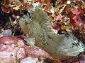 Leaf Scorpionfish, Bunaken Island.jpg