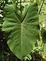 Leaf of Colocasia esculenta.jpg