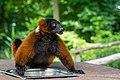 Lemur (36568530156).jpg