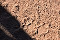 Leopard tracks, Ruaha National Park (2) (28946995241).jpg