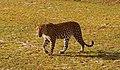Leopardess beautifully looking at the camera.jpg