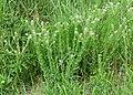 Lepidium campestre kz12.jpg