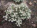 Lepidium papilliferum flowering in SW Idaho 3.jpg