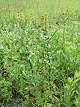 Lepidium perfoliatum sl20.jpg