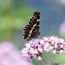 Lepidoptera (Butterfly) 03.jpg