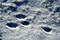 Lepus.europaeus.tracks.on.snow.jpg