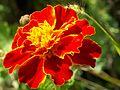 Les belles fleurs - panoramio - youssef alam (11).jpg
